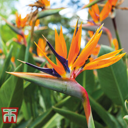 Strelitzia 'Bird of Paradise'
