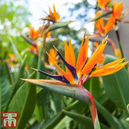 Strelitzia reginae (House Plant)