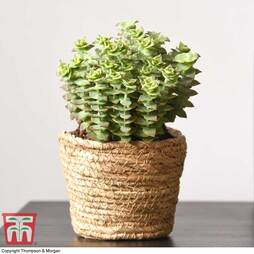 Crassula perforata (House plant)