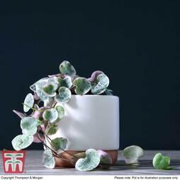 Ceropegia linearis subsp. woodii 'Variegata' (House Plant)