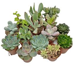 5 Succulent Starter Plant Collection Indoor Cacti Houseplants Terrarium Plants
