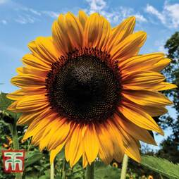 Sunflower 'Russian Giant'