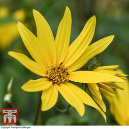 Sunflower maximiliani 'Early Bird'
