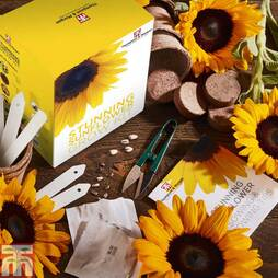 Stunning Sunflower Growing Kit