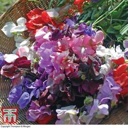 Sweet Pea 'Floral Tribute'