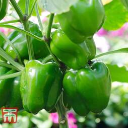 Sweet Pepper 'Green Bell Boy'