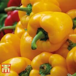 Sweet Pepper 'Beluga Yellow'