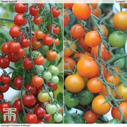 Sweetest Tomato Duo