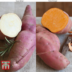 Sweet Potato 'Erato Duo'