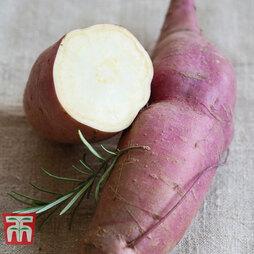 Sweet Potato 'Erato White'