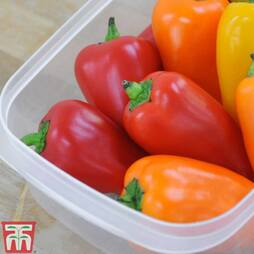 Sweet Pepper 'Lunchbox Red'