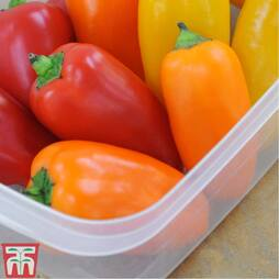 Sweet Pepper 'Lunchbox Orange'