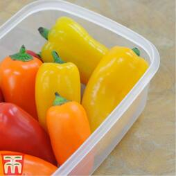 Sweet Pepper 'Lunchbox Yellow'
