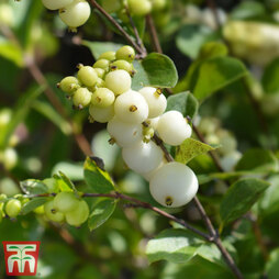 Symphoricarpos x doorenbosii 'White Hedge'