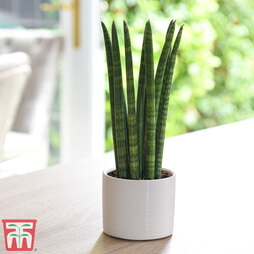Sansevieria cylindrica 'Straight' (House Plant)