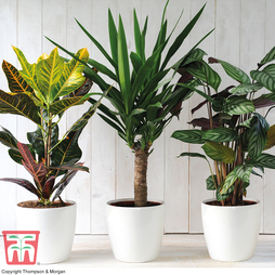 Scandi Houseplant Trio in White Plastic Pots with Drip Feeders - Gift