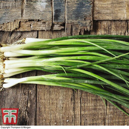 Spring Onion 'Winter White Bunching'