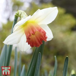 Narcissus 'Decoy Red'