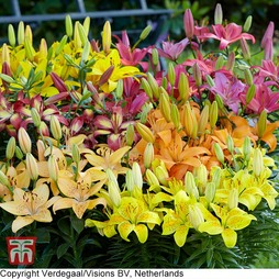 Lily Asiatic Mix (Ground Cover)