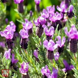 Lavender 'Bluestar' (French)