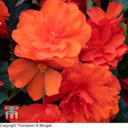 Begonia 'Non-Stop Mocca Bright Orange'