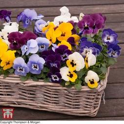Viola 'Autumn Jewels Mixed' (Garden Ready)