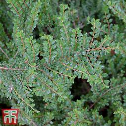 Cotoneaster adpressus 'Little Gem'