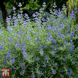 Caryopteris x clandonensis 'Petit Blue'