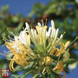 Honeysuckle 'Halliana'