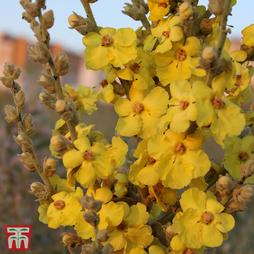 Verbascum phlomoides 'Banana Custard'