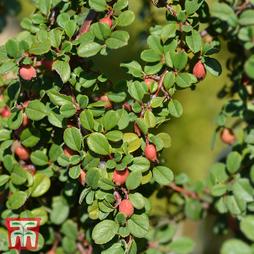 Cotoneaster microphyllus 'Streibs Findling'
