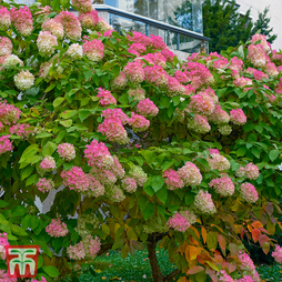 Hydrangea paniculata 'Mega Mindy'