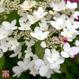 Hydrangea paniculata 'White Diamonds First Edition'