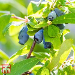 Lonicera kamtschatica 'Myberry Sweet'