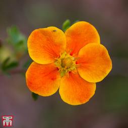 Potentilla fruticosa 'Hopleys Orange'