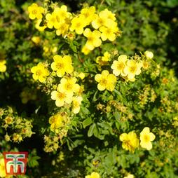Potentilla fruticosa 'Sommerflor'