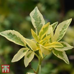 Sambucus nigra 'Madonna'