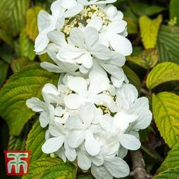 Viburnum plicatum f. tomentosum 'Shasta'