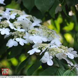 Viburnum plicatum f. tomentosum 'Shoshoni'