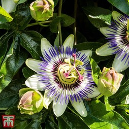 Passion Flower Collection