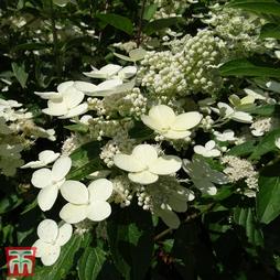 Hydrangea paniculata 'Sparkling'