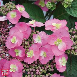 Hydrangea serrata 'Cotton Candy' (Flair & Flavours)