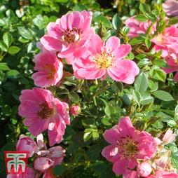 Rose 'Pink Pins'