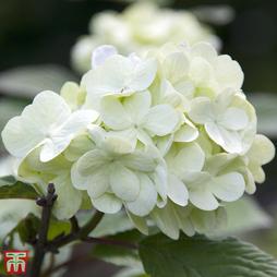 Viburnum plicatum f. plicatum 'Grandiflorum'