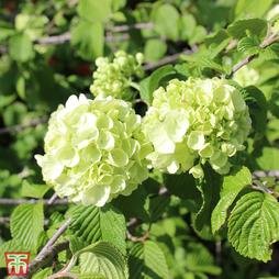 Viburnum plicatum f. plicatum 'Popcorn'