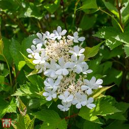 Viburnum trilobum 'Bailey Compact'