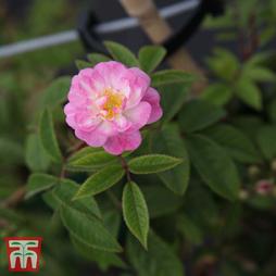 Rose 'Guirlande Rose'