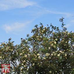Burnet rose (Hedging)