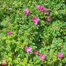 Ramanas Rose (Hedging)