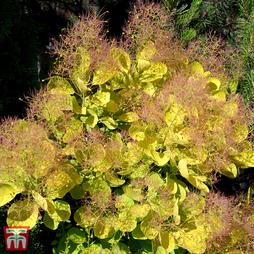 Cotinus coggygria 'Golden Spirit'